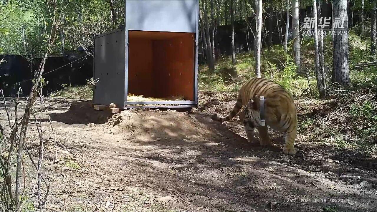 จีนช่วย 'เสือไซบีเรีย' พลัดหลงเข้าหมู่บ้านคน