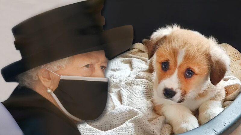 """ห่วงควีนอลิซาเบธ """"สูญเสียอีก"""" หลังสุนัขทรงเลี้ยงตัวใหม่ด่วนจากเพราะปัญหาหัวใจ"""