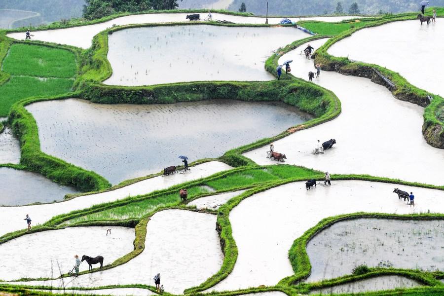 'หยางต้ง' หมู่บ้านจีนผู้สืบสานธรรมเนียมการไถนาด้วยวัวควาย