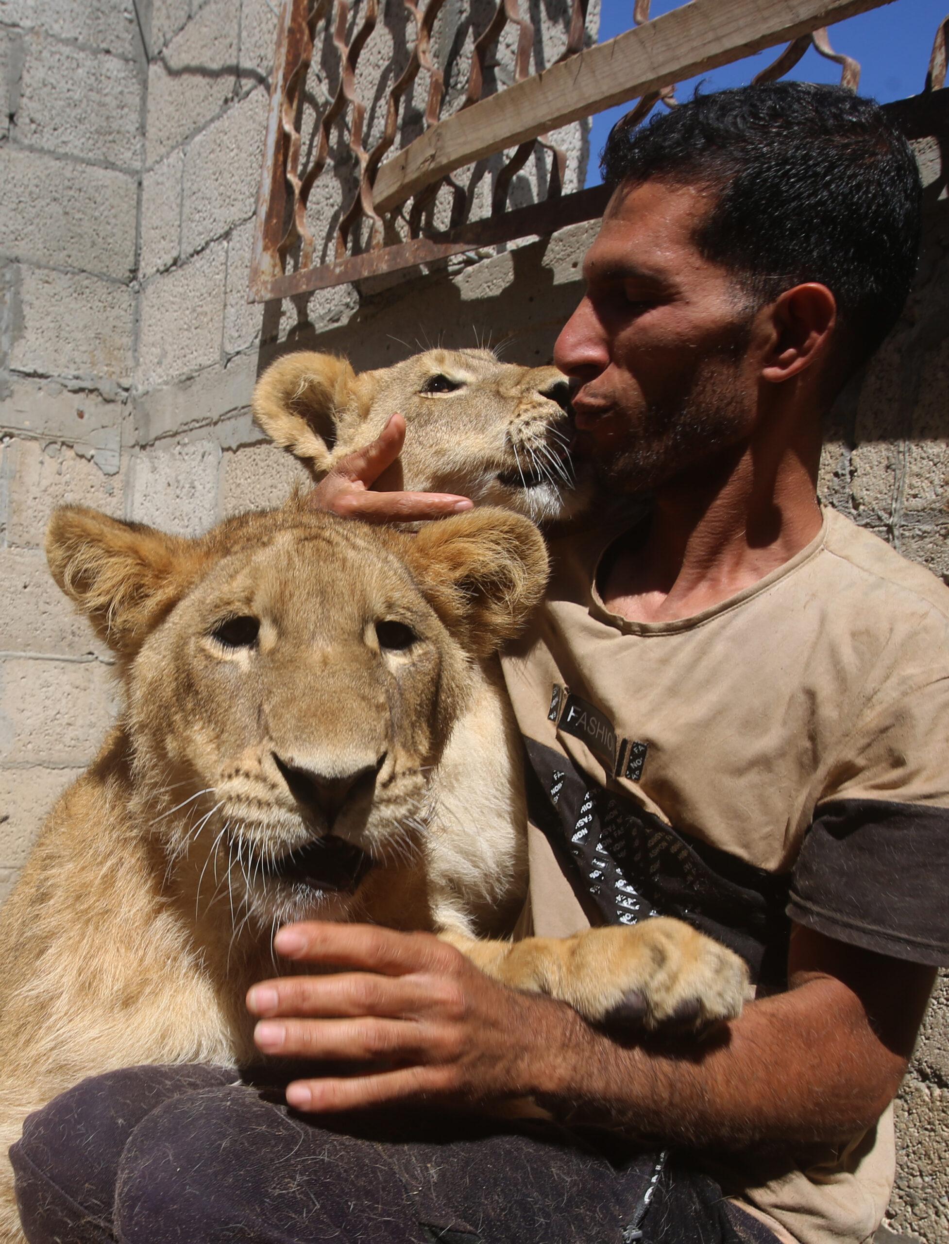 แสนเชื่อง! 'ลูกสิงโต' คลอเคลียมนุษย์ในฉนวนกาซา