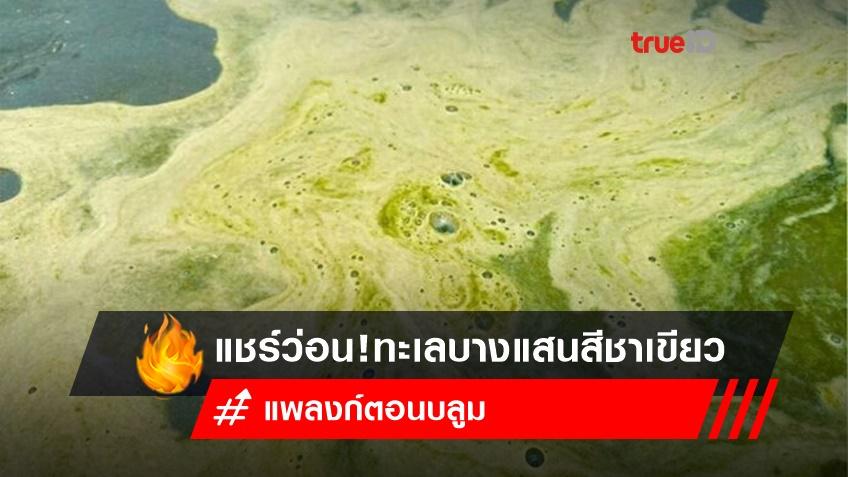แชร์ว่อน ทะเลบางแสนสีชาเขียว 'แพลงก์ตอนบลูม' ยันปลอดภัย