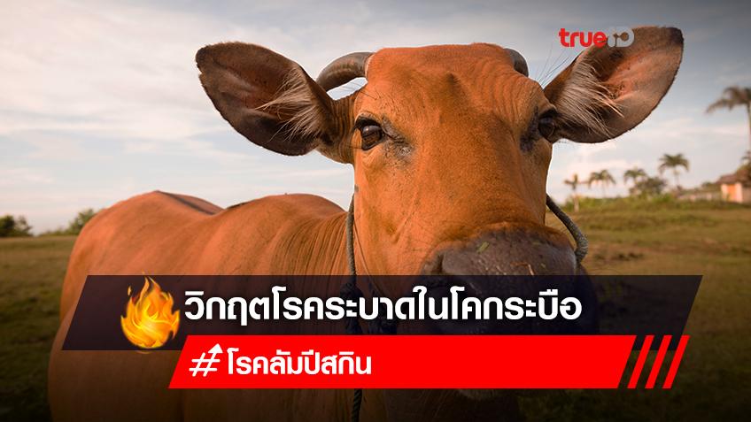 """รู้จัก """"โรคลัมปี สกิน"""" วิกฤตโรคระบาดในสัตว์ ที่ไทยกำลังเผชิญ"""