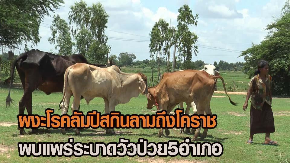 'ลัมปี สกิน' ลามพิมายหลายหมู่บ้าน ปศุสัตว์โคราชประกาศพื้นที่โรคระบาด ห้ามเคลื่อนย้ายสัตว์ (คลิป)