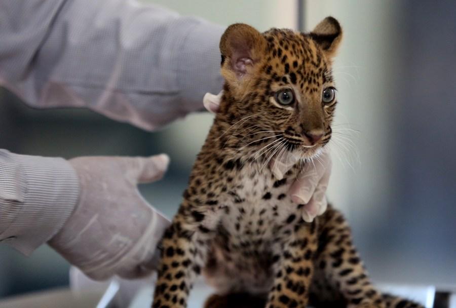 ตาแป๋ว! อินเดียช่วยลูก 'เสือดาว' พลัดหลงกับแม่