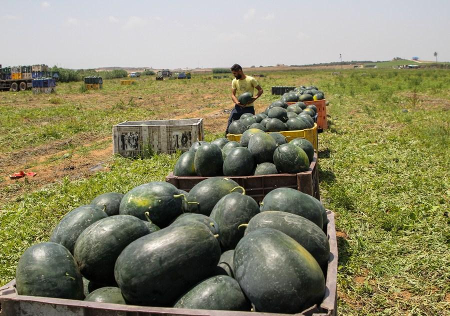 ชาวไร่เก็บเกี่ยว 'แตงโม' ในกาซา หลังหยุดยิงกับอิสราเอล