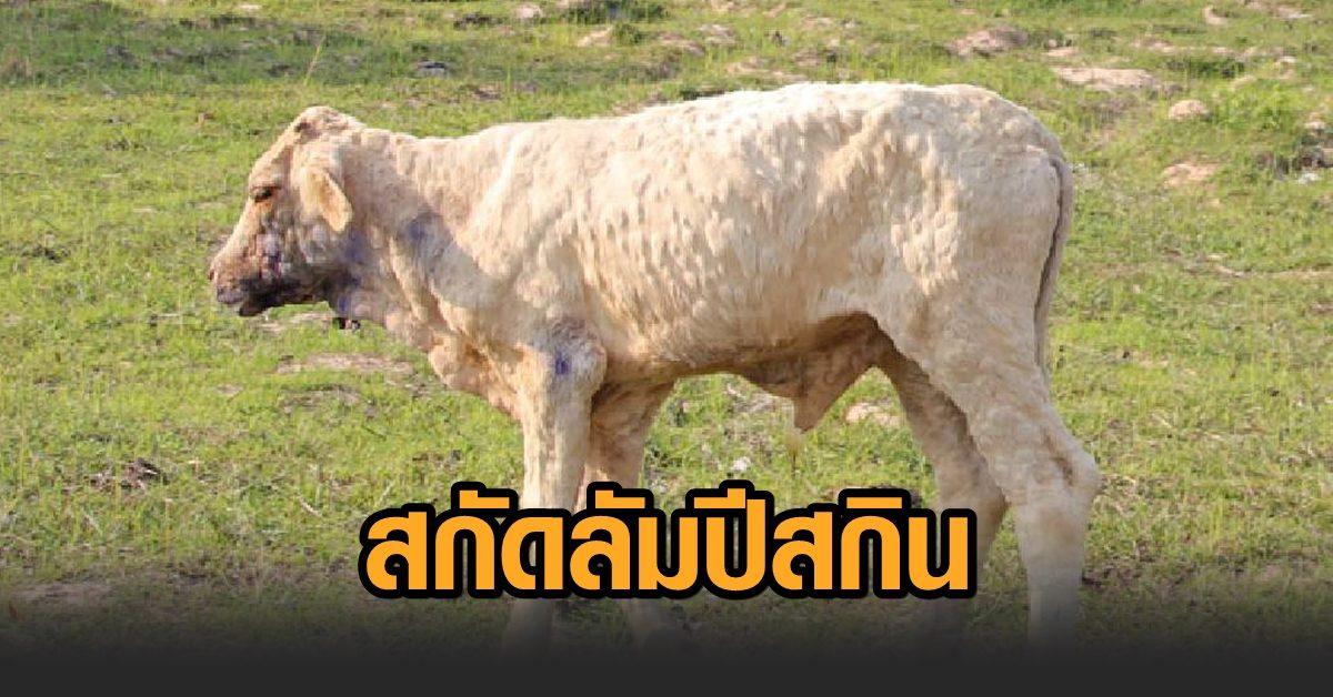 ผู้ว่าฯศรีสะเกษ สั่งปิดตลาดนัดโค-กระบือ สกัดโรคลัมปีสกิน ฝากเกษตรกรหมั่นทำความสะอาด-สังเกตสัตว์