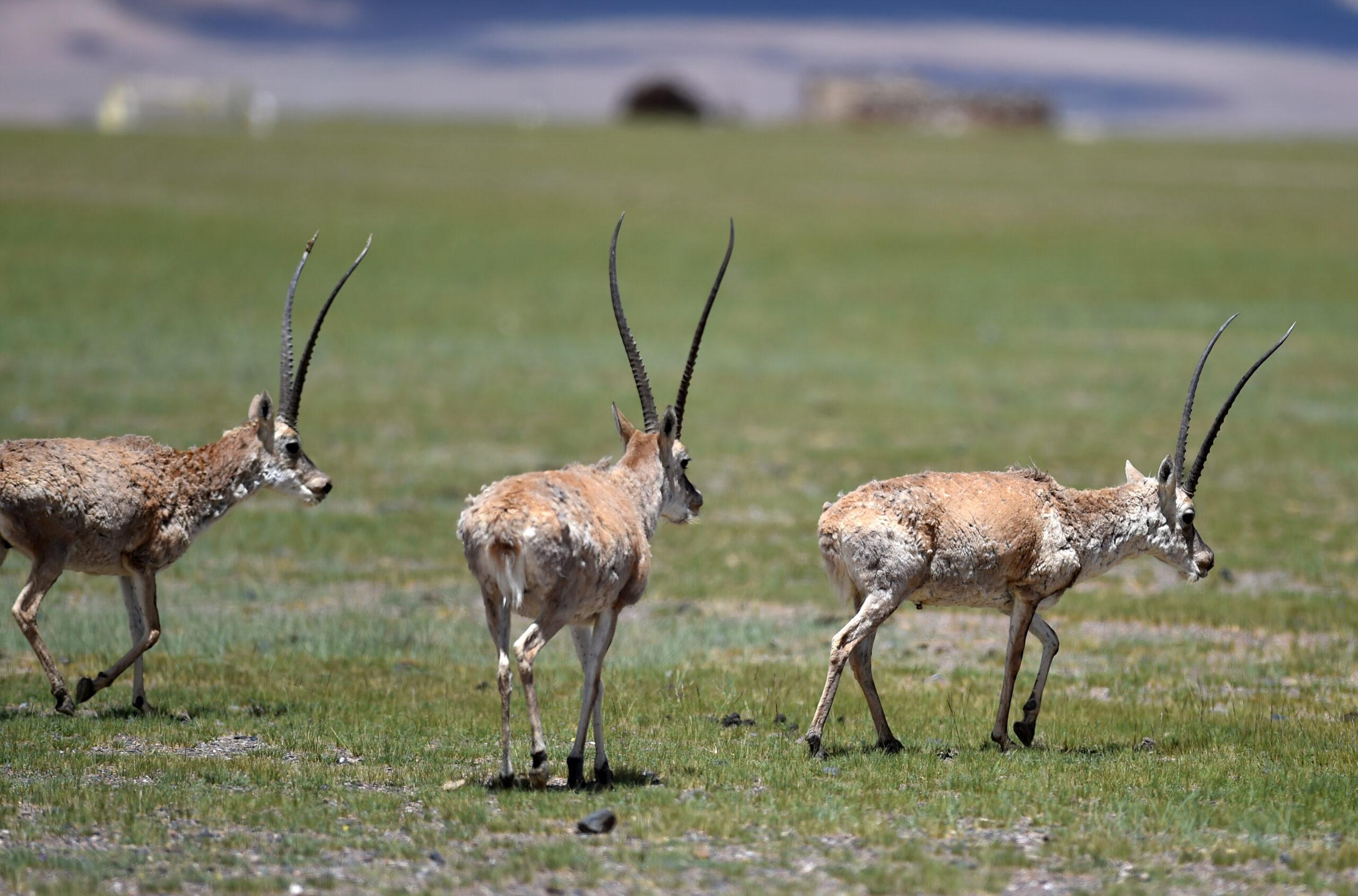 ประชากร 'สัตว์คุ้มครอง' ในทิเบต เพิ่มขึ้นต่อเนื่อง