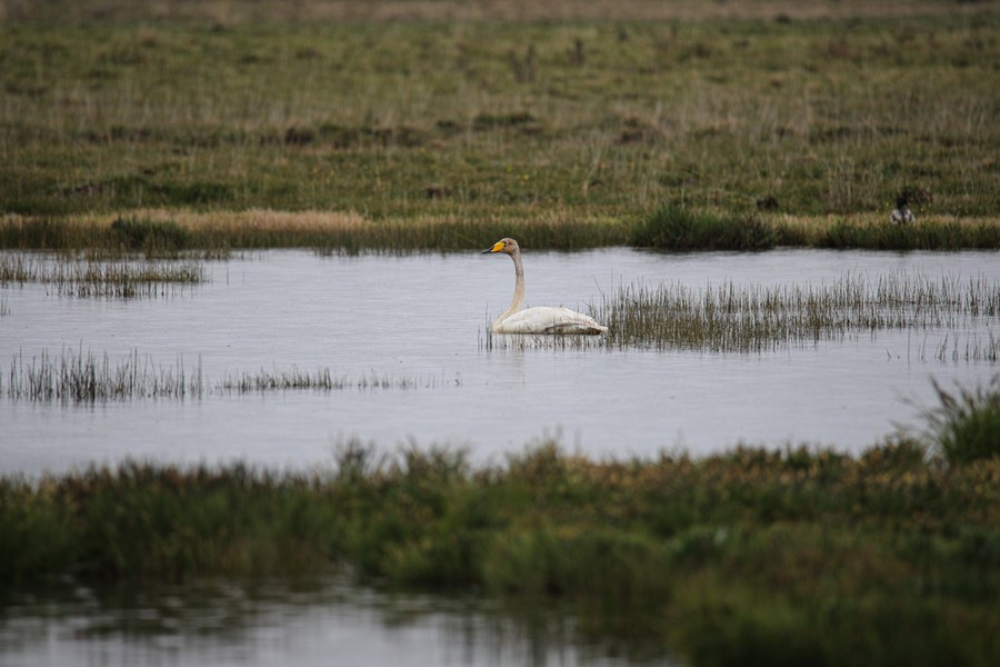 'ทะเลสาบก๋าไห่' แหล่งพักพิงของนกใกล้สูญพันธุ์นานาชนิด