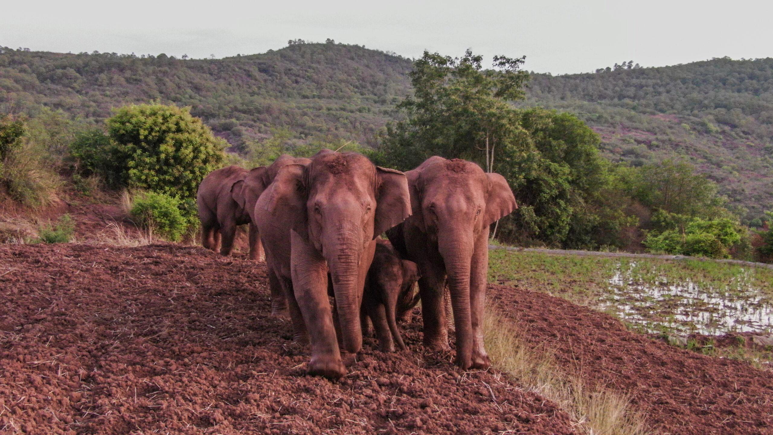 ยูนนานเผย 'ช้างป่า' โขลงใหญ่ หยุดทริปอพยพใกล้คุนหมิง