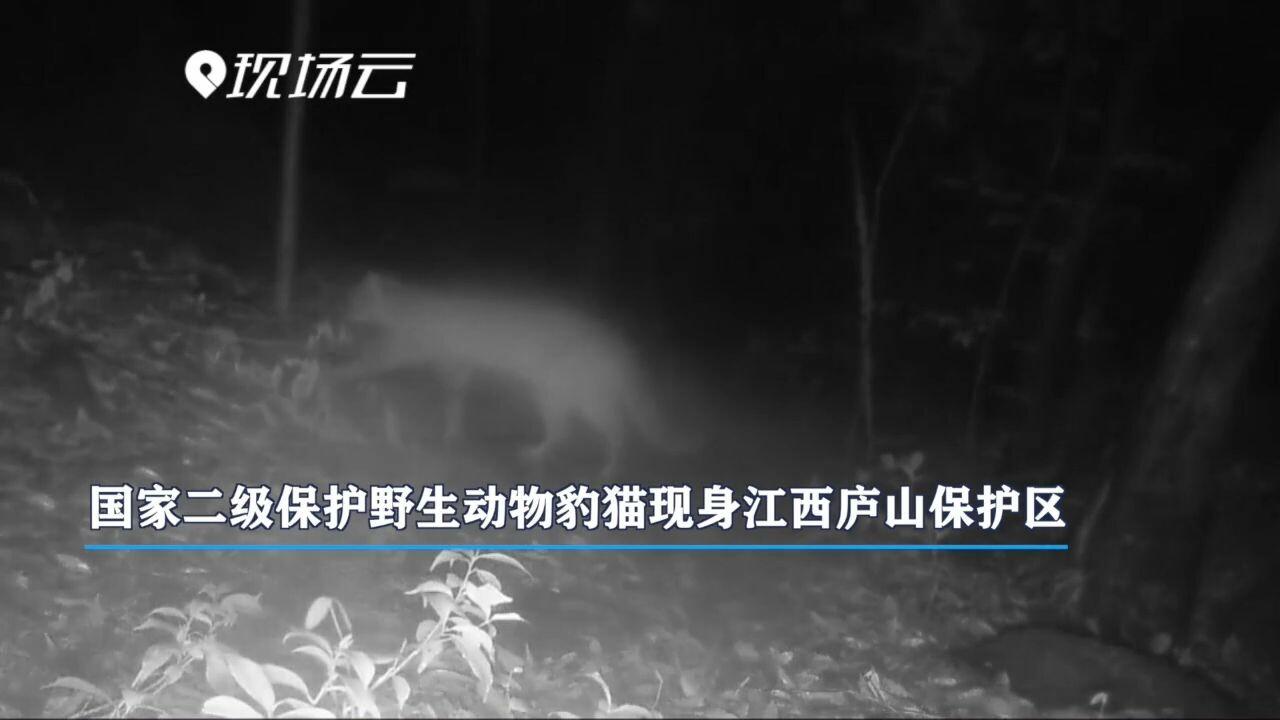 เขตอนุรักษ์เจียงซีจับภาพ 'แมวดาว' สัตว์ป่าคุ้มครองหายากของจีน