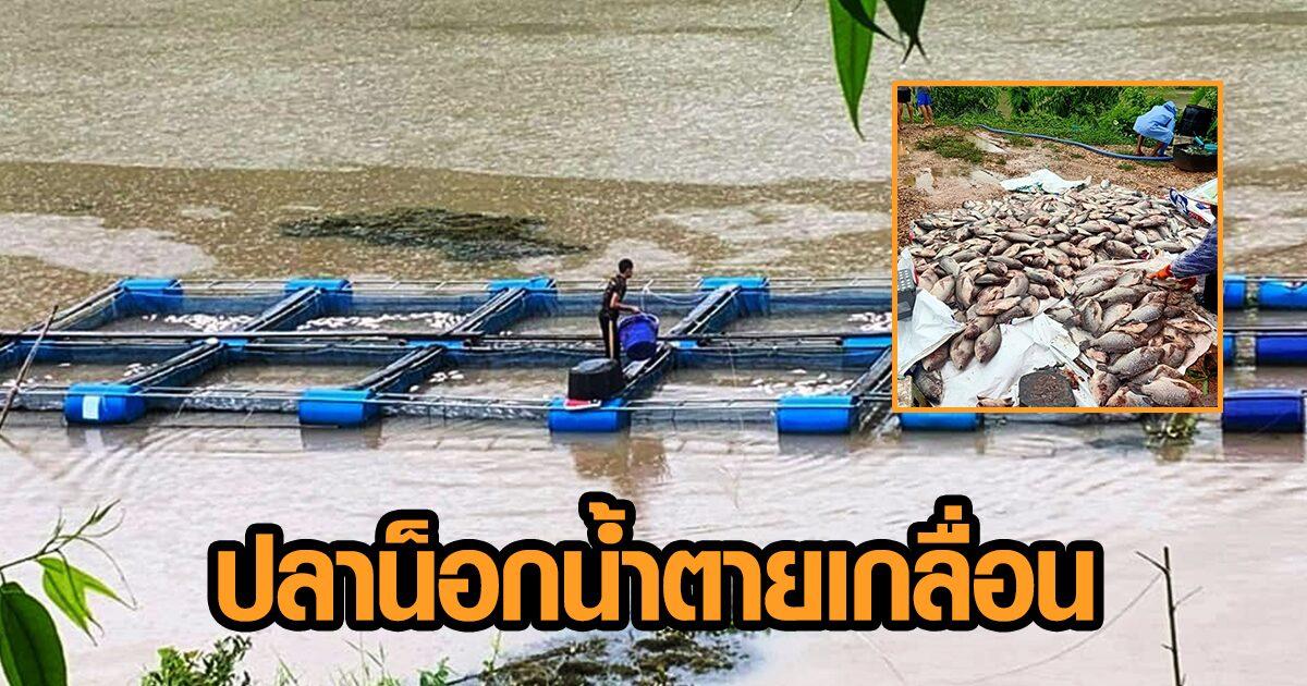 ผู้เลี้ยงปลานิลนครพนมช้ำ พายุโซนร้อนโคะงุมะถล่ม ปลาในกระชังน็อกน้ำตายเป็นแพ