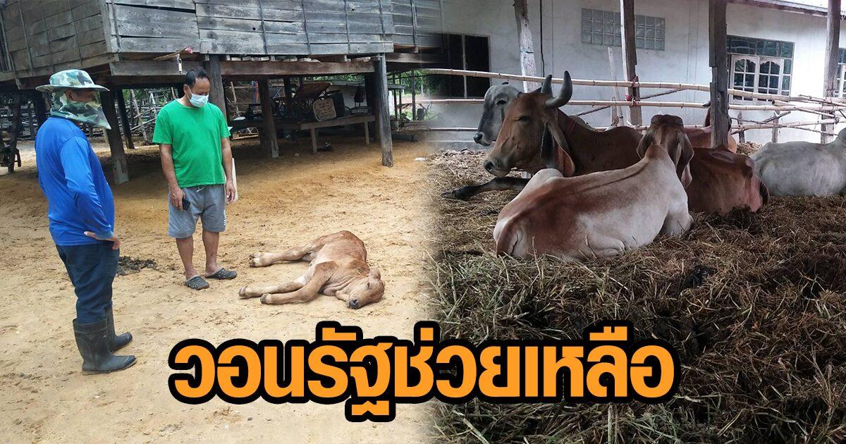 วอนรัฐช่วยด่วน! เกษตรกรเลี้ยงวัวโคราชเดือดร้อนหนัก ลัมปีสกินระบาด วัวล้มตายทุกวัน