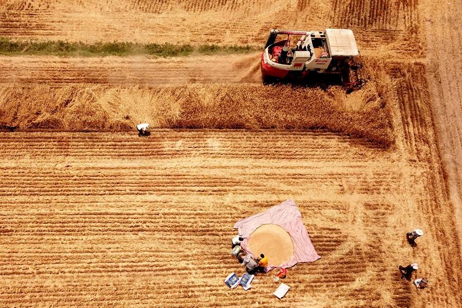 เกษตรกรจีนลุย 'เกี่ยวข้าว' กลางทุ่งเหลืองทองอร่าม