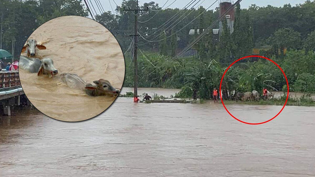 นาทีชีวิต จนท.-ชาวบ้าน ฝ่ากระแสน้ำ ช่วยชีวิตวัว 3 ตัว ติดอยู่เกาะกลางแม่น้ำ จ.น่าน