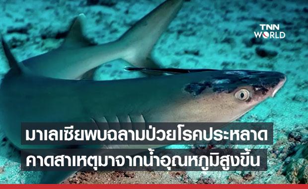 พบฉลามในมาเลเซียป่วยโรคผิวหนังลึกลับยังหาสาเหตุไม่ได้