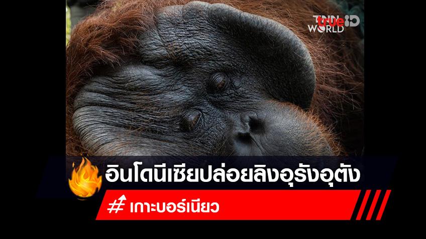 อินโดนีเซียปล่อยลิงอุรังอุตังกลับคืนสู่ธรรมชาติ