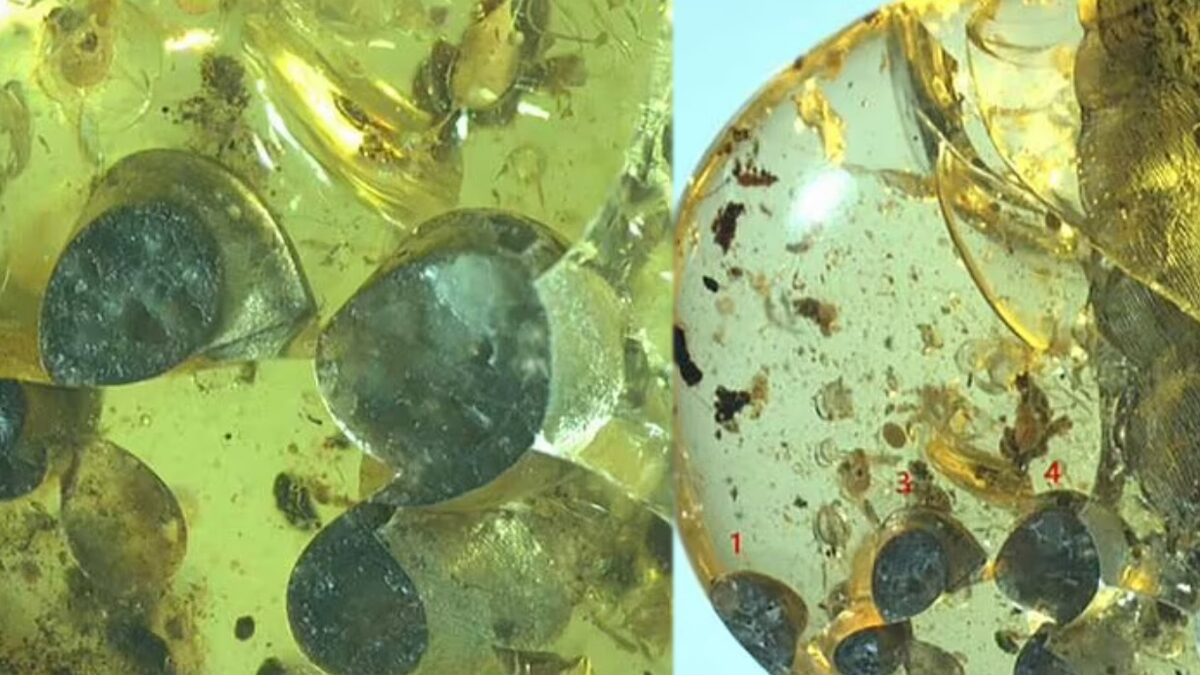 """ค้นพบ """"ทาก"""" ในอำพัน 99 ล้านปี ถูกยางไม้เคลือบยกครัว-หลังเพิ่งออกลูก 5 ตัว"""