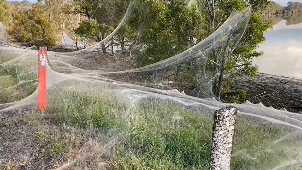 """""""ใยแมงมุม"""" ขนาดใหญ่ปกคลุมต้นไม้ออสซี่ หลังเผชิญฝนตก-น้ำท่วม"""