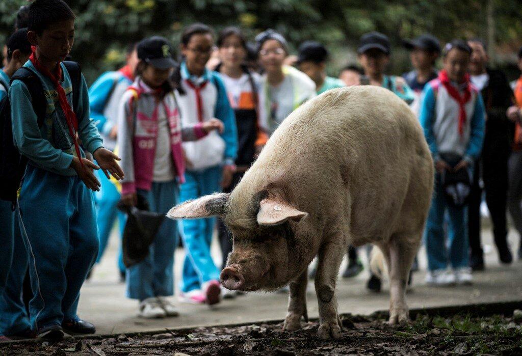 ชาวเน็ตอาลัย เจ้าหมูผู้รอดชีวิตจากแผ่นดินไหวในจีนตายแล้ว