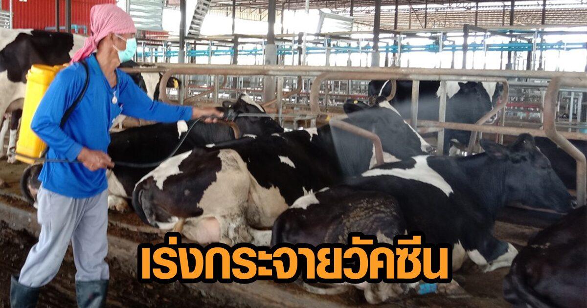 ฟาร์มโคนมโคราชจัดเต็มป้องโรค 'ลัมปี สกิน' ปศุสัตว์เร่งกระจายวัคซีน 1.8 หมื่นโดส