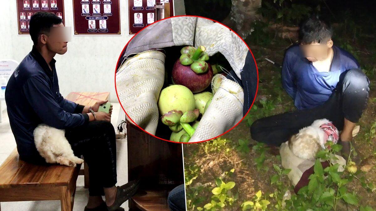 เจ้าของสวนซุ่มจับหัวขโมย สอยมังคุดไปขาย ตรวจฉี่เป็นสีม่วง อ้างตกงาน ทะเลาะแฟน