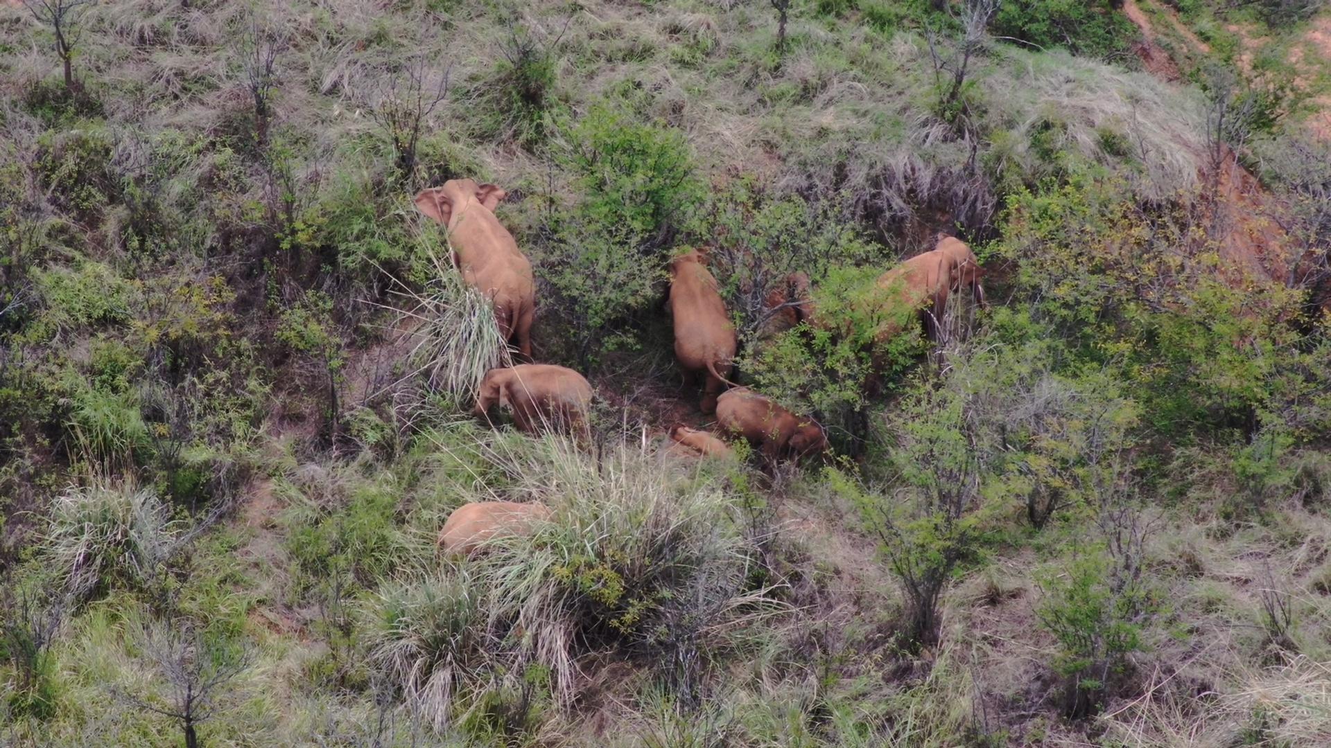 โขลง 'ช้างป่าอพยพ' ชื่อดังในจีน แสดงสัญญาณกลับลงใต้