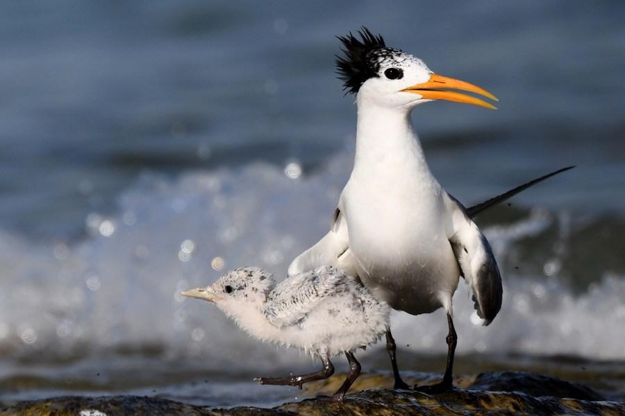 ส่อง 'นกนางนวลแกลบหงอนเล็ก' น่ารักน่าเอ็นดูในคูเวต