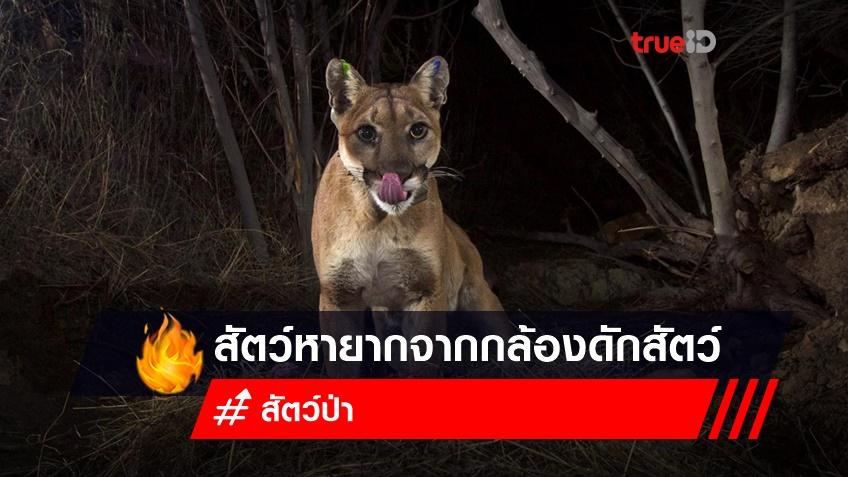 ชมภาพ! สัตว์หายากจากกล้องดักสัตว์ทั่วโลก