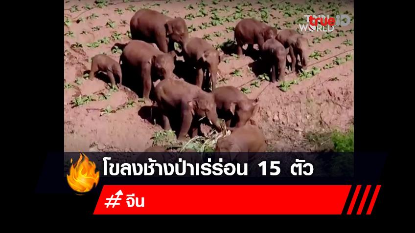 โขลงช้างป่าเร่ร่อน 15 ตัวที่กำลังเป็นที่สนใจของผู้คนชาวจีนและทั่วโลก
