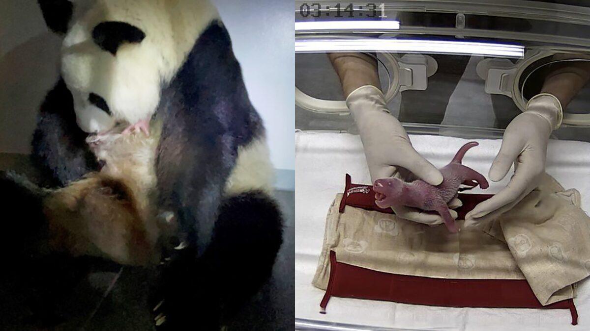 สวนสัตว์โตเกียวเฮ แพนด้ายักษ์ ชิน ชิน ออกลูกแฝดครั้งแรก