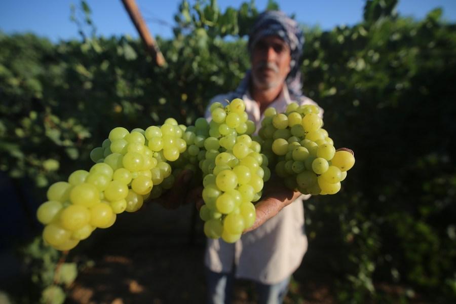 เกษตรกรปาเลสไตน์เก็บเกี่ยว 'องุ่นไร้เมล็ด' สดใหม่
