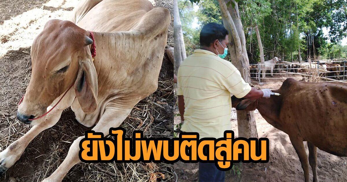กรมควบคุมโรคยัน 'ลัมปี สกิน' ในไทย ยังไม่มีรายงานติดสู่คน