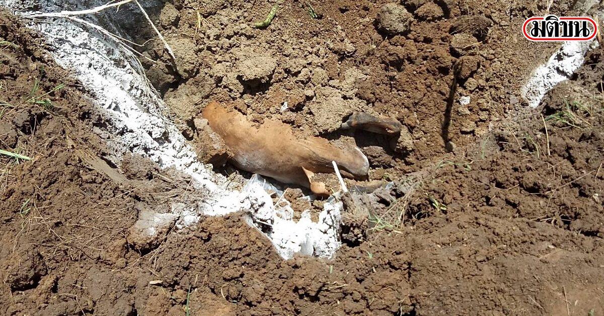 ปศุสัตว์เลย จ่อประกาศเขตภัยพิบัติฉุกเฉิน ด้านโรคระบาดสัตว์ หลังวัว-กระบือล้มตายจากลัมปีสกิน 58 ตัว