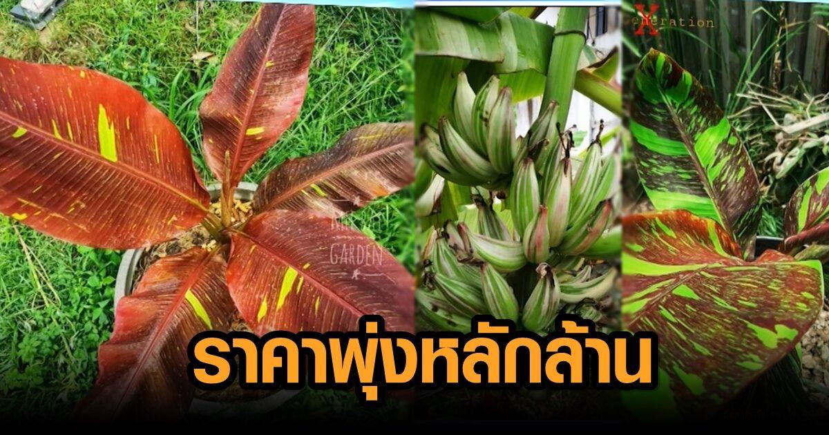 เปิดโลก 'กล้วยด่าง' ต้นไม้ยอดฮิต ราคาพุ่งหลักล้าน แค่หน่อก็แตะแสน