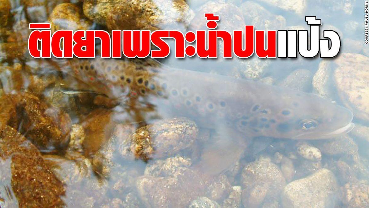 """งานวิจัยพบ แหล่งน้ำปนเปื้อน """"เมทแอมเฟตามีน"""" ทำให้ปลาเทราต์ """"ติดยา"""" ได้"""