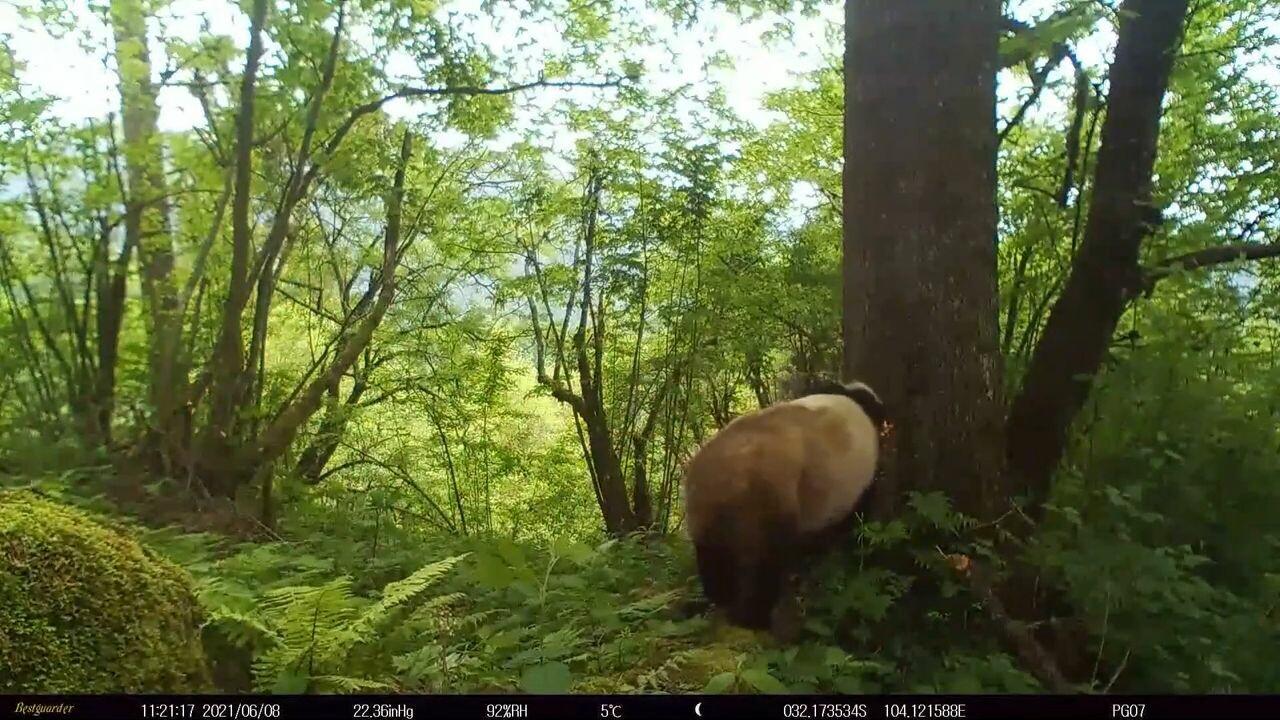 เขตอนุรักษ์ฯ เสฉวนเผยภาพวิถีชีวิต 'แพนด้า-สัตว์คุ้มครอง' กลางป่า