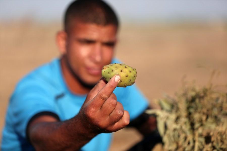 เกษตรกรเก็บเกี่ยว 'กระบองเพชรลูกแพร์หนาม' ในฉนวนกาซา