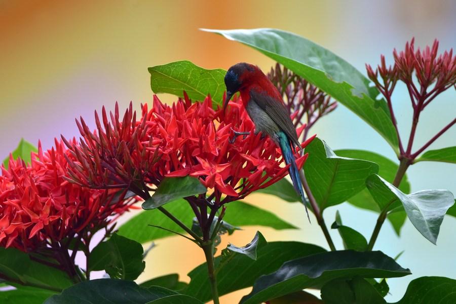 'นกกินปลี' สีสวย จิบน้ำหวานดอกไม้