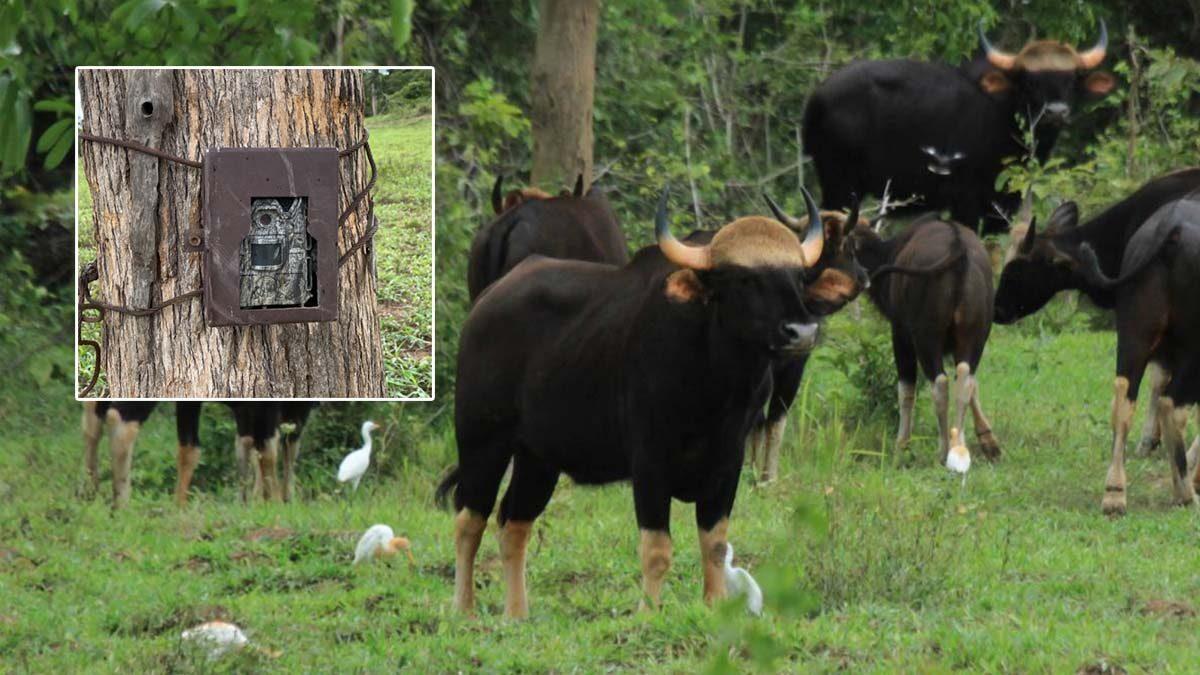 """อุทยานฯ กุยบุรี ลุยติดกล้องดักถ่าย 14 จุด เฝ้าระวัง """"กระทิง"""" ป่วยโรค """"ลัมปี สกิน"""""""