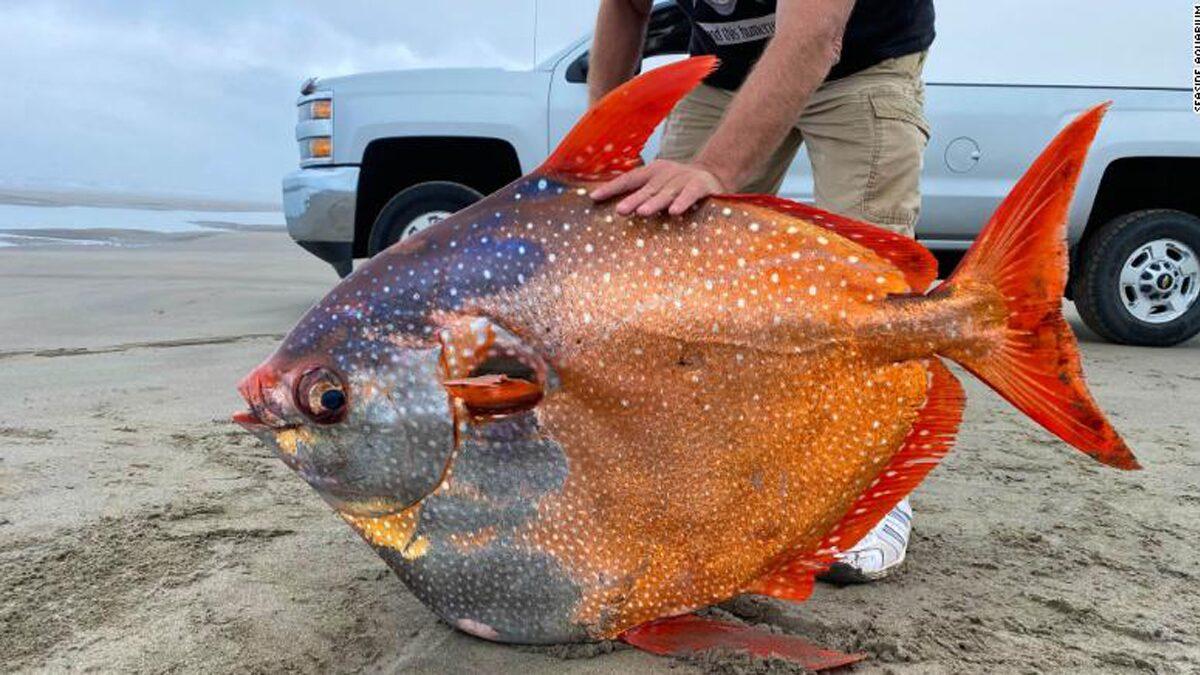 โอปาห์ยักษ์ มะกันตะลึงพบซากปลามูนฟิชหนักครึ่งร้อยกิโลกรัมเกยหาด