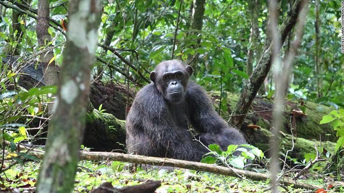 ชิมแพนซีรุมฆ่ากอริลลา นักวิทย์ตะลึงพบเชิงประจักษ์ครั้งแรกในโลก