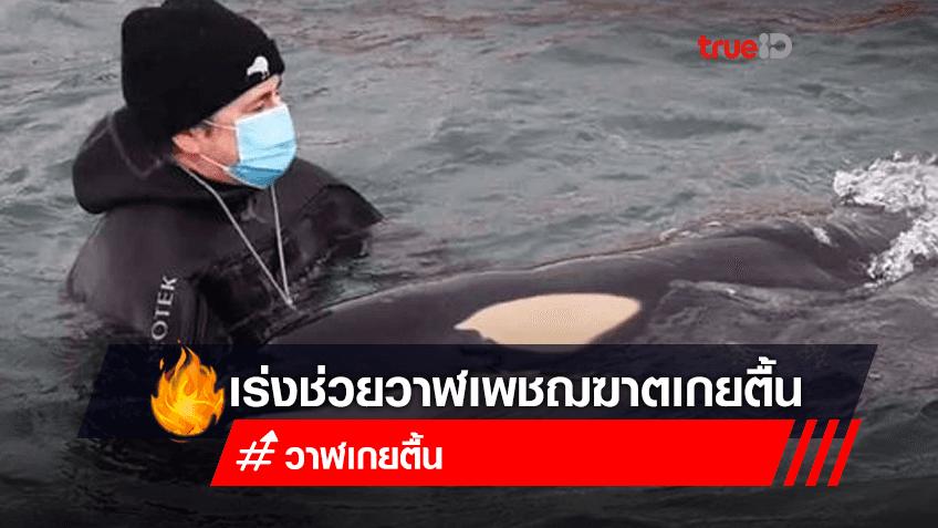 ผู้เชี่ยวชาญและอาสาสมัครทางทะเลของนิวซีแลนด์ กำลังเร่งค้นหาฝูงวาฬออร์กา