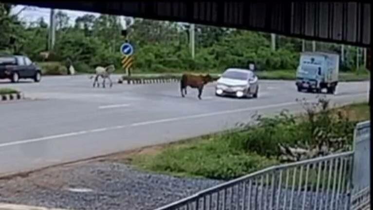 อุทาหรณ์ วัวข้ามถนนเป็นเหตุ หวิดเก๋งปะทะรถบรรทุกหกล้อ พลิกคว่ำ