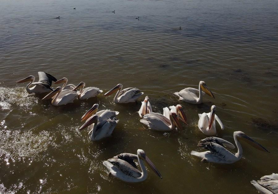 ฝูง 'นกกระสา-นกกระทุง' อวดโฉม ณ ทะเลสาบตุรกี