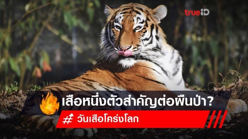 29 กรกฎาคม วันเสือโคร่งโลก ประวัติ : รู้หรือไม่? เสือ 1 ตัว สำคัญต่อผืนป่าอย่างไร?