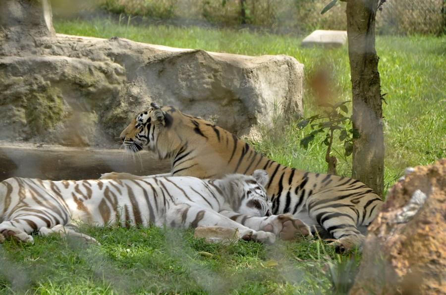ยล 'เสือโคร่ง' เยื้องย่างอวดลวดลายในยูกันดา