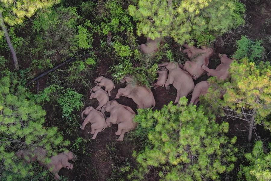 ย้อนชม 'โขลงช้างป่า' เดินลัดเลาะทั่วยูนนาน