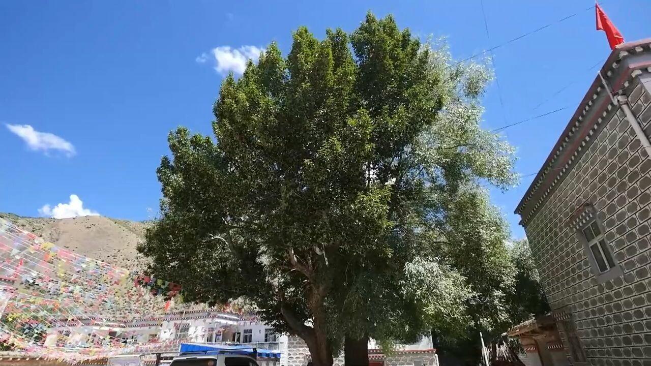 ต้นไม้แห่งตำนานรัก 'ฮั่น-ทิเบต' ยืนยงบนแดนหลังคาโลก