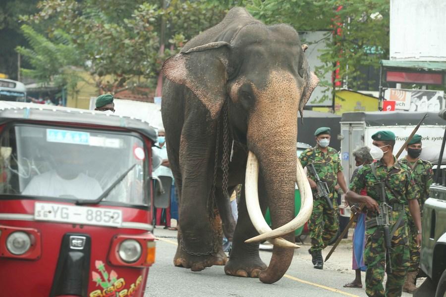 ช้างหลวงในศรีลังกา เดินเท้าร่วมเทศกาลแห่ 'พระเขี้ยวแก้ว'