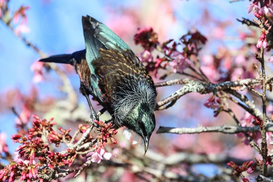 'นกทูอี' เกาะก้านซากุระ ลิ้มรสน้ำหวานดอกไม้
